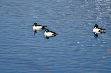 Common Goldeneye Ducks Swimming on the Water