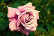 canvas print picture - Light pink rose large