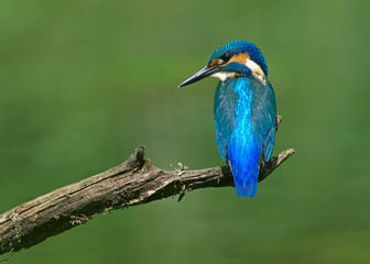 Kingfisher on a branch 9