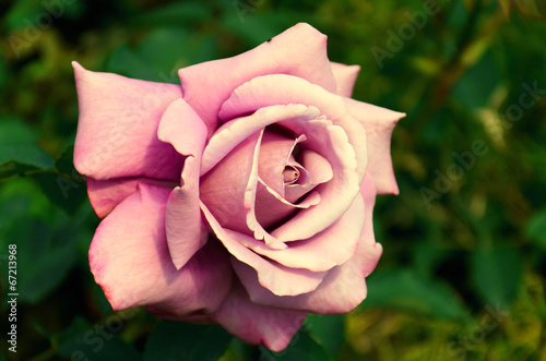 canvas print picture Light pink rose large
