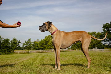 Great Dane waiting for owner to give ball