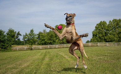 Great Dane legs splayed, missing ball