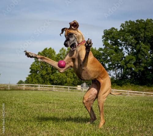 Foto op Canvas Hond Great Dane on hind legs