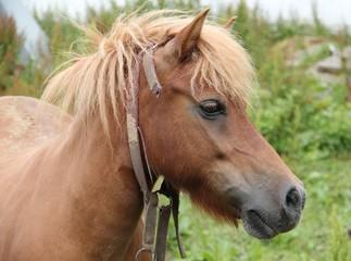 Ponystute (Haflinger-Shetland-Mischung)