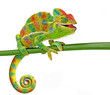 canvas print picture - Chamaeleo calyptratus, female, isolated on a white background