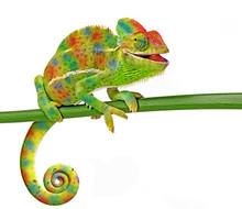 Kameleon jemeński, żeński, samodzielnie na białym tle