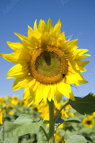 canvas print picture Girasole