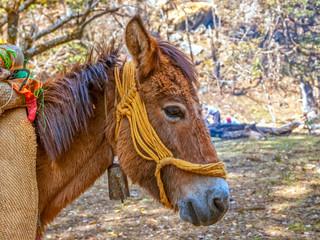 Mule in Himalaya