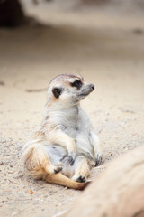A meerkat lying on the ground