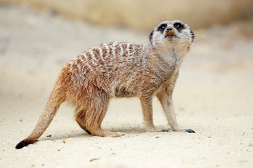 A meerkat on the ground looking around