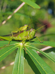 Green grasshopper eats leaf of manioc