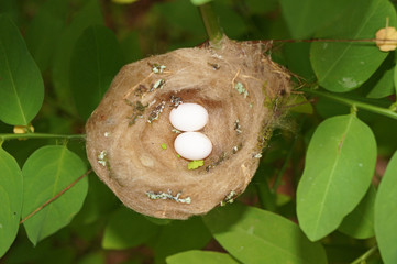 Hummingbird nest with eggs