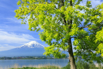 富士と新緑のアカシヤ