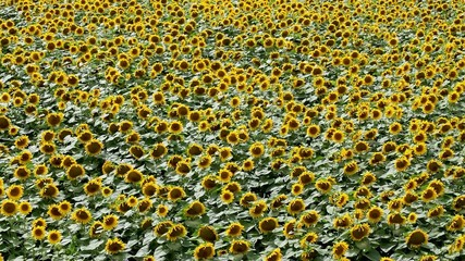 Agriculture. rural scene, blooming sunflower plant in field