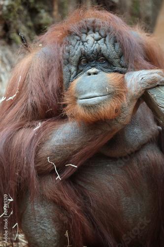 Foto op Canvas Aap Portrait of bornean orangutan
