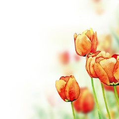Tulips watercolor background
