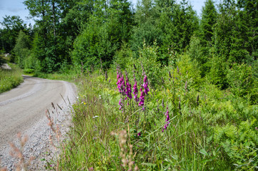 Purple flowers along a gravel road side
