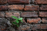 ฺิBhodi Tree on Brick Wall