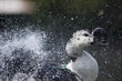 Wiild Duck while splashing on water