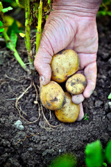 Handful of fresh harvested potatoes
