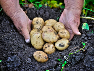 Potato lifting in the kitchen garden