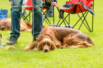 Brown dog resting