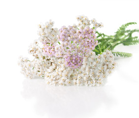 yarrow herb with white and pink flowers on a white background