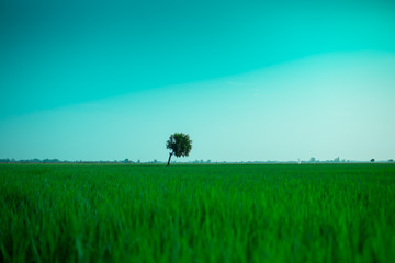 The lonely tree between the rice field