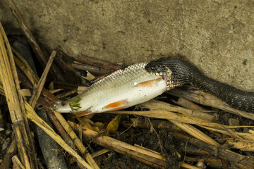 Wild snake eating fish - Stock Image macro.