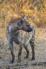 Adult hyena in the wild