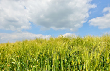 Closeup image of a field with young wheat