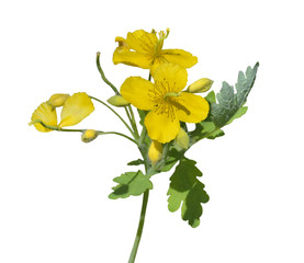 Medicinal herb celandine 9