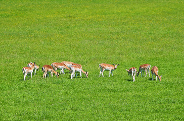 Fawns and female deers on green grass field