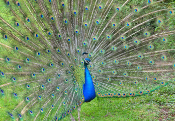 Peacock demonstrating his tail
