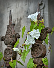 White convolvulus flowers on a rusted vintage fence of church