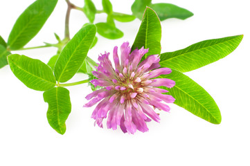 medicinal herb red clover on a white