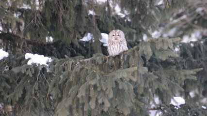 Tawny owl sitting on coniferous tree look around and flies away
