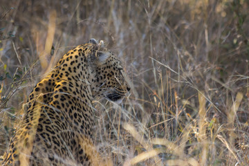 Side profile of a leopard in long grass