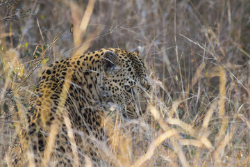 Leopard peeping through long grass in the wild