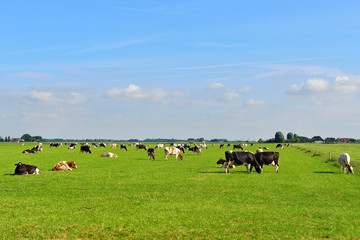 dairy cows on farmland