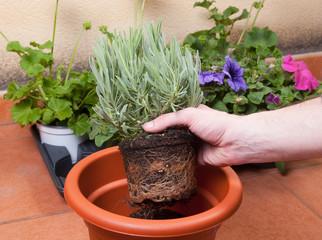 Transplanting lavender plant