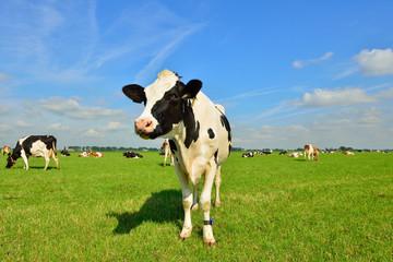 dairy cows on farmland
