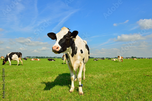 Deurstickers Koe dairy cows on farmland
