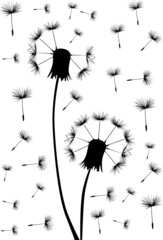 two black dandelions in seeds