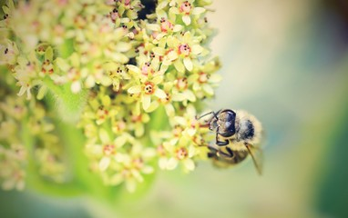 Macro of honey bee pollinating the flower.