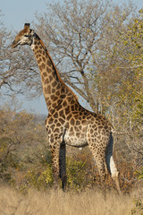 Giraffe walking in the forest