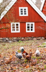 chickens on the farm