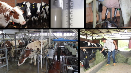 Milking Cows On Dairy Farm
