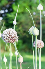 Onion flower stalks