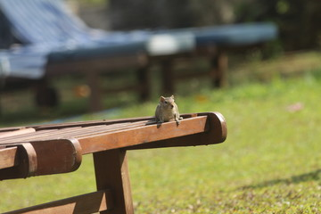Chipmunk is sitting on the sunbed.